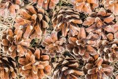 Cones caídos do pinho na grama e agulhas em um ambiente natural Imagem de Stock Royalty Free