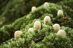 Cones of Cedar Stock Images