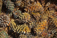 Cones of cedar pine 3 Stock Image