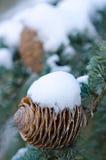 Cones of cedar tree Stock Images