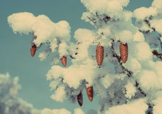 Cones on christmas fir branch - vintage retro style Royalty Free Stock Photo