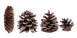 Cones collection isolated on white. Cones collection of coniferous trees, isolated Royalty Free Stock Photos