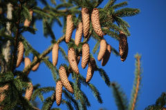 Cones on a coniferous. Beautiful big tree cones on a coniferous Stock Photos