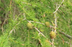 Cones on coniferous tree Stock Images