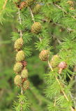 Cones on coniferous tree Stock Photography
