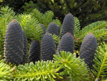 Cones. Conifers, trees, fruits, branches, evergreen, background. Young cones on spruce paws. Blue cones on a green background Royalty Free Stock Images