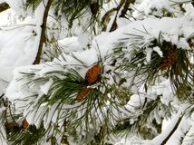 Cones covered with snow stock images