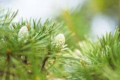 Cones of crimean pine tree Stock Photography