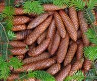 Cones de abeto cercados por ramos Fotos de Stock
