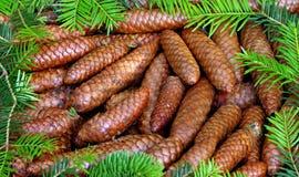 Cones de abeto cercados por ramos Imagens de Stock Royalty Free