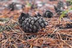 Cones de abeto na floresta com profundidade de campo rasa intencional imagem de stock royalty free