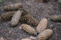 Cones de abeto na terra no parque Cones do pinho no groundz Foto de Stock Royalty Free