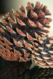 Cones de contraste do pinho Imagens de Stock Royalty Free