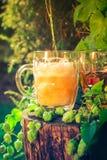 Cones de lúpulo de derramamento do fundo da caneca para cerveja da cerveja Imagem de Stock Royalty Free