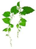 Cones de lúpulo muito novos com folhas / Isolado/ Fotografia de Stock