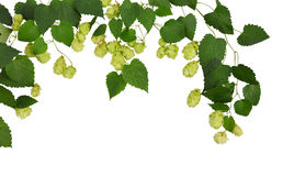 Cones de lúpulo muito novos com folhas / Isolado sem sombras/ Fotos de Stock Royalty Free