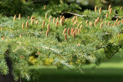 Cones of Deodar, Himalayan cedar tree growing in Adelaide, South. Selective focus of erected cones of Deodar, Himalayan cedar tree growing in Adelaide, South royalty free stock images