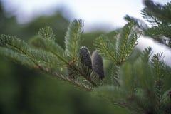 Cones do abeto coreano - Abies a cor verde do koreana imagem de stock