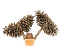 Cones do cedro Imagem de Stock Royalty Free