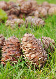 Cones do cedro Fotos de Stock Royalty Free