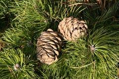 Cones do cedro Fotos de Stock Royalty Free