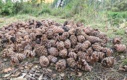 Cones do cedro Foto de Stock Royalty Free