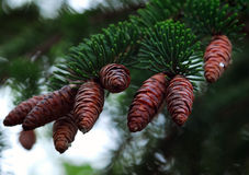 Cones do Natal Imagens de Stock