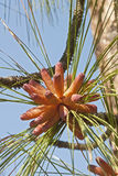 Cones do pólen do pinho de Longleaf Imagem de Stock