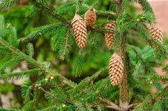 Cones do pinheiro e do pinho Agulhas verde-clara foto de stock royalty free