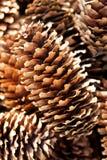 Cones do pinho Imagem de Stock