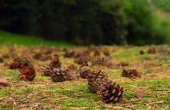 Cones do pinho. Fotografia de Stock