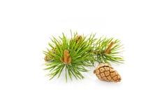 Cones do pinho Imagem de Stock Royalty Free