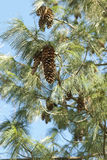 Cones do pinho Fotografia de Stock