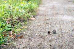 Cones do pinho caídos de uma árvore Fotos de Stock Royalty Free