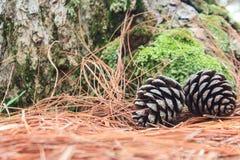 Cones do pinho caídos na terra na floresta Fotografia de Stock
