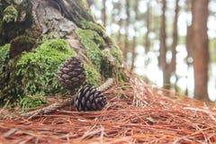 Cones do pinho caídos na terra na floresta Imagens de Stock Royalty Free