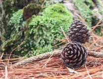 Cones do pinho caídos na terra na floresta Foto de Stock Royalty Free