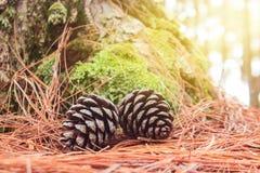 Cones do pinho caídos na terra na floresta Imagem de Stock Royalty Free