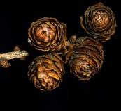 Cones do pinho contra um fundo preto Fotografia de Stock Royalty Free