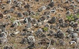 Cones do pinho da floresta nos arredores naturais, foco no primeiro plano Fotografia de Stock Royalty Free