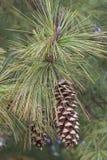 Cones do pinho de Butão Fotos de Stock