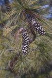 Cones do pinho de Butão Imagens de Stock
