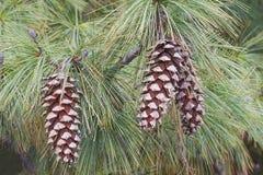 Cones do pinho de Butão Fotografia de Stock Royalty Free