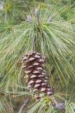 Cones do pinho de Butão Imagem de Stock