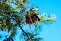 Cones do pinho do inverno e agulhas do pinho sob o céu azul Fotografia de Stock Royalty Free