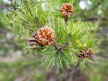 Cones do pinho e agulhas do pinho na mola fotografia de stock royalty free