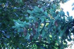 Cones do pinho em um ramo de pinheiro fotos de stock royalty free