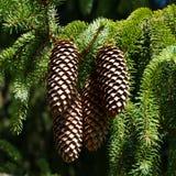 Cones do pinho em uma filial Fotografia de Stock