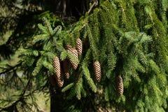 Cones do pinho em uma filial Imagens de Stock Royalty Free
