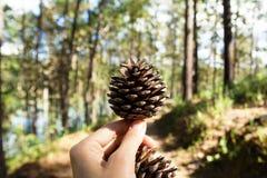 Cones do pinho em uma mão da mulher em uma floresta em um dia ensolarado Fotografia de Stock